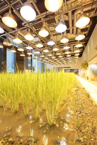 Ngắm ruộng lúa chín vàng trong văn phòng công ty nhật